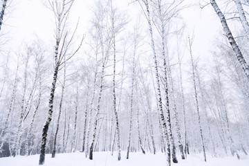 birch forest in snow winter