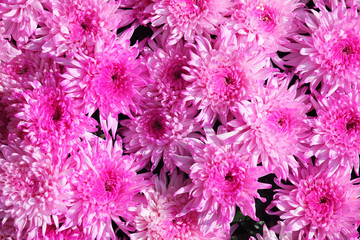 texture of pink dahlia flower as background.