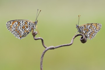 Two butterflies perching on stick face to face