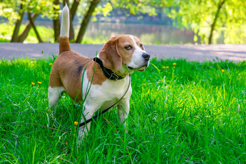 spring photo of beagle dog in green grass