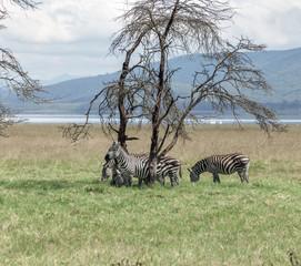 Zebras crossing meadow in Lake Nakuru - Kenya, Eastern Africa