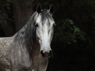 Grey dappled horse summer dark woods portrait
