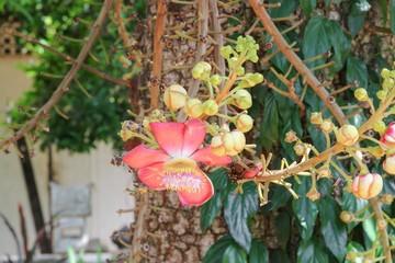 Cannon ball flower Beautiful  (Couroupita guianensis Aubl)