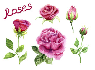 Watercolor roses, pink hand painted flowers. Design element for greeting card, invitation, wedding, valentine's day