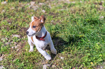 Jack Russel puppy