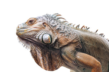 live iguana isolated