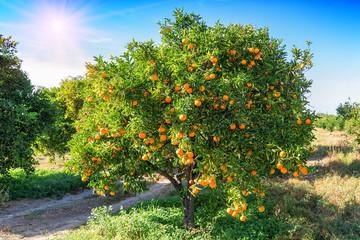 lush orange tree