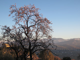 Almond blossoms and valley