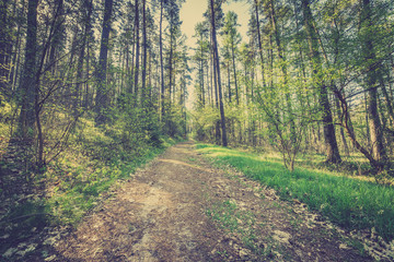 Picture of road in pine forest, vintage photo taken in Poland in spring, landscape