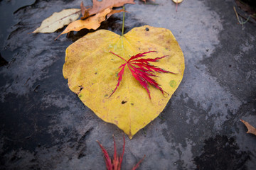 Autumn leaves, grey background