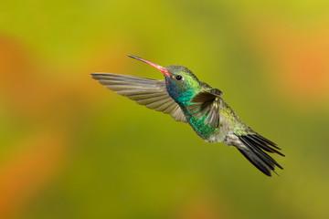 Broad-billed Hummingbird flying