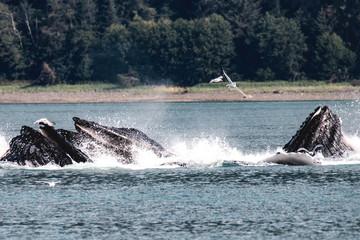 Humpback Whales, Juneau Alaska