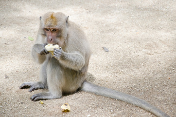 monkey sitting on the ground to eat banana