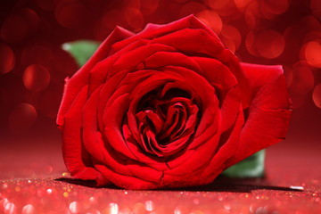 Beautiful red rose on sparkling red background