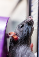 Closeup of grey rat standing against glass
