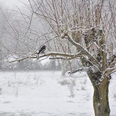 Prunier , neige, hiver