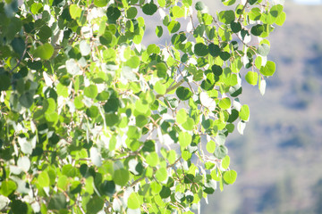 Leaves on an aspen tree shiver in the sunlight creating a pleasant natural background.