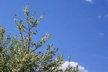 Cherry tree branches with flowers on a blue sky with copy space on the right