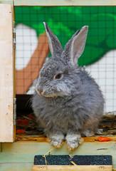 Grey domestic rabbit sitting near a cage