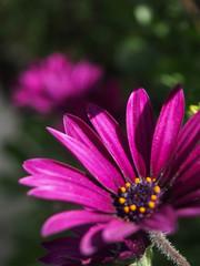 A bright purple daisy growing wild.