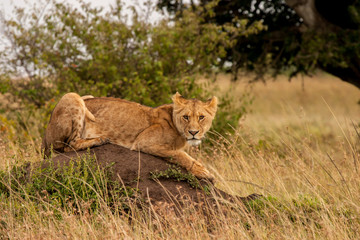 African Lion Resting