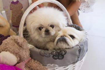 Dog fashion. White Pekingese. Small dog.