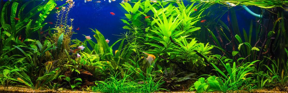 fish in freshwater aquarium with green beautiful planted tropica