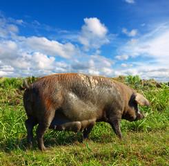 big muddy sow