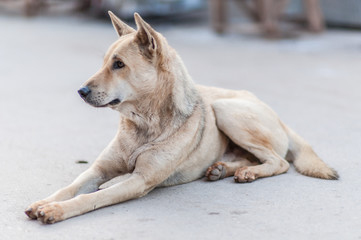 Thai dog sitting on the cement floor