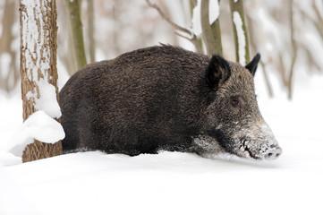 Fototapete - Wild boar in winter