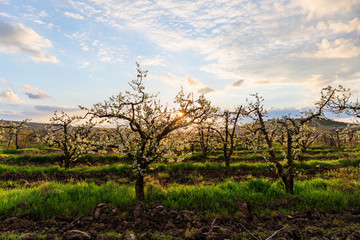 morning landscape in orchard