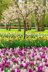 Colourful Blooming cherry tree and tulips in an Spring Formal Garden