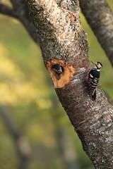 White-backed Woodpecker (Dendrocopos leucotos namiyei) nesting in Japan