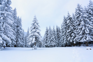 Fir-trees covered with snow around lawn.