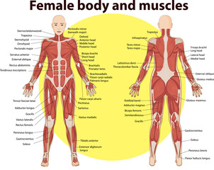 Vector illustration of  body and muscles anatomy