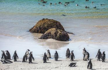 Pinguinkolonie an der False Bay in Simons Town Südafrika