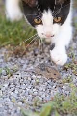Katze fängt Maus