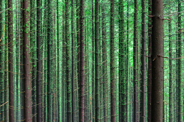 texture of coniferous forest