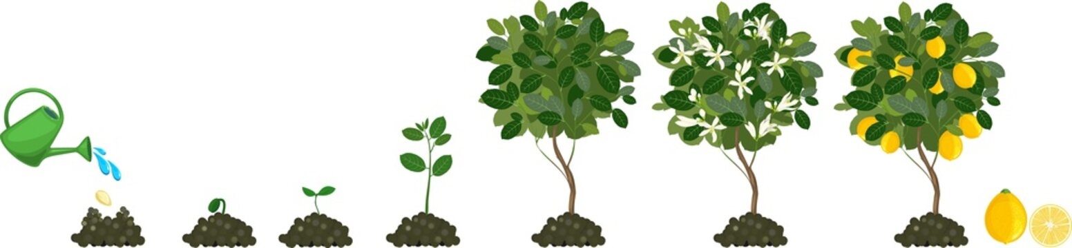 Plant growing from seed to lemon tree. Life cycle plant