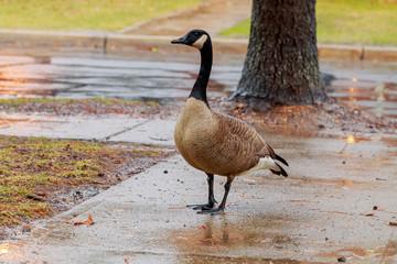 goose walking down the sidewalk in the rain