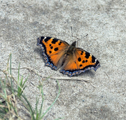 Beautiful butterfly sitting on the wet ground