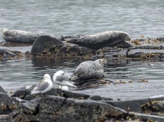 A herd of Kamchatka seals resting on rocks near the island Starichkov Avachinskaya Bay - Kamchatka, Russia
