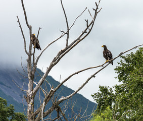Two Stellers sea eagle on the lake Dvukhyurtochnoe - Kamchatka, Russia