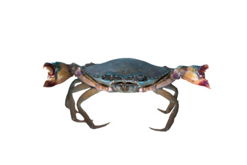 Crab white background