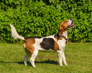 English beagle - breed of the hunting hounds of dogs