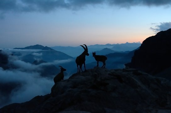 Herd of Capra ibex at dusk, Aosta Valley, Italy