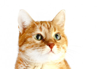 Cute adult red cat isolated on white background. Muzzle
