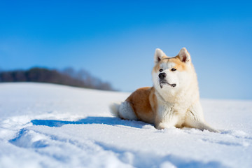 Akita Inu dog lying in the snow.