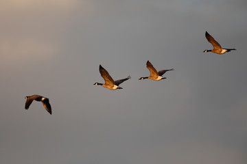 Canada geese flying together