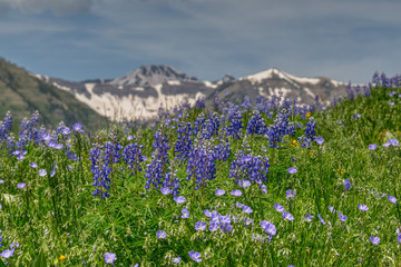Lupine and Flax